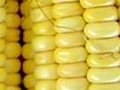 We offer plant breeding and commercial seed production for conventional, specialty, and transgenic corn